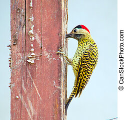 Woodpecker - A green-barred woodpecker standing on a pole