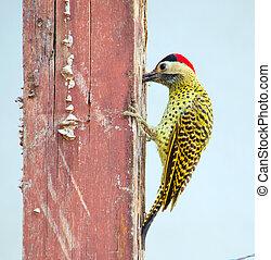Woodpecker - A green-barred woodpecker standing on a pole