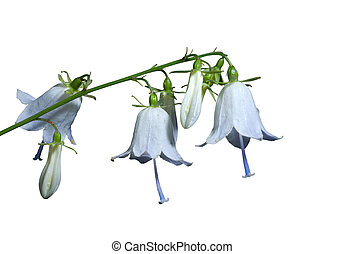 Flowers (Adenophora tricuspidata) 9 - A close up of the blue...