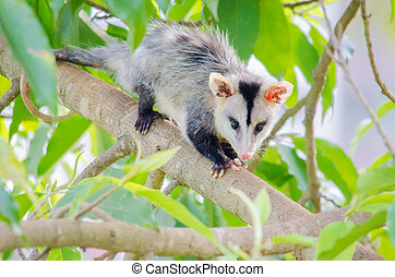 Opossum - An opossum standing on a tree branch