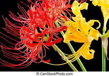 Red and golden spider lily - Close up of red and golden...
