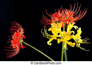 Red and golden spider lily standing upright and diagonally...