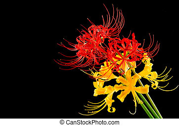 Red and golden spider lily - Red and golden garden spider...