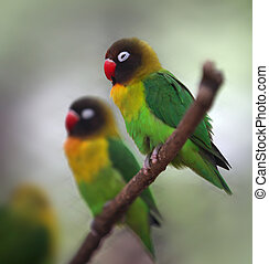 Yellow-collared Lovebird - Two cute Yellow-collared love...
