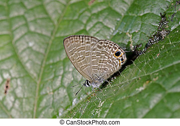 brush footed butterfly is eating on the green leaf