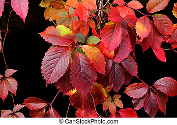 autumn leaves isolated on a black background