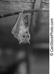 Bat Chiroptera in Black and White - Bat Chiroptera Hanging...