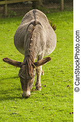 Donkey Equus africanus asinus - Donkey is a Member of the...