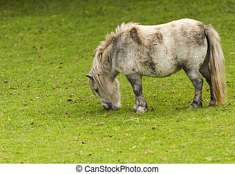 Minature Horse - Many different Pony Breeds were Bred for...