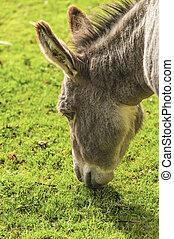 Donkey ( Equus africanus asinus ) - Donkey is a Member of...