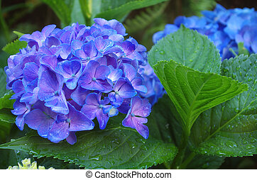 Blue hydrangea - Close up on beautiful blue hydrangea...