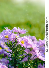 Violet Asters - Violet asters flowers over green background