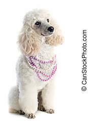 poodle - beautiful purebred poodle in front of a white...