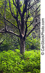 Old apple tree - A old and dry apple tree in the forest,...