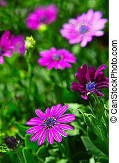 Purple daisy flowers, Osteospermum