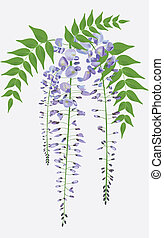 Blooming wisteria branch with leaves, vector illustration -...