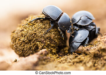 Three dung beetles working really hard together