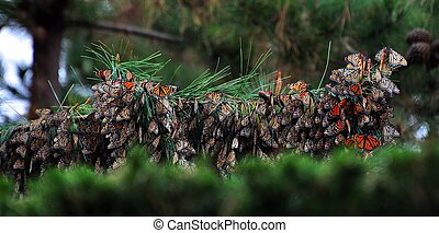 Monarch butterfly habitat - tree filled with monarch...