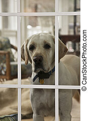Dog in the Window - American Labrador looking through the...
