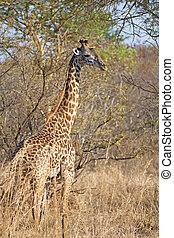 Wild Giraffe in the savannah in Mikumi, Tanzania