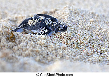 Green Sea Turtle Hatchling making its first steps from the...