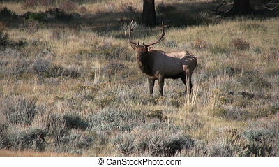 Bull Elk - a bull elk in a meadow