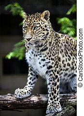 Um, closeup, Leopardo