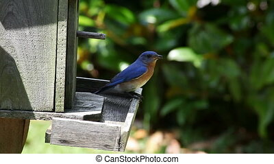 Bluebird - video of bluebird sitting on the roof of a wooden...