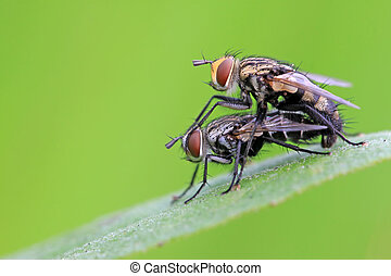 two muscidae insects mating on the green leaf, in the...