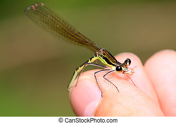 damsel-fly in the natural state, close up of pictures, take...