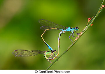 two mating damselflies on the vegetation