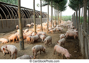 pigs in the farm with trees around it