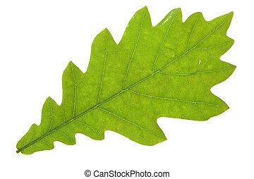 Oak leaf isolated on white