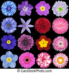 Various Red, Pink, Blue and Purple Flowers Isolated on Black...