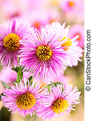 aster flowers - pink aster flowers