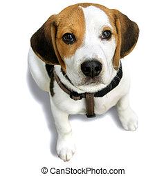 Napoleon Puppy Beagle, on the white beckground