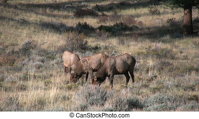 Cow Elk Grazing