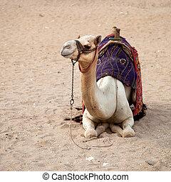 White camel - Desert camel, Cairo, Egypt. The paler camels,...