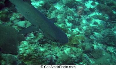 White tip reef shark - A slender white tip reef shark...