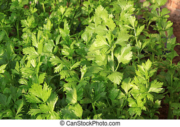 celery in a greenhouse, close up of pictures, North China