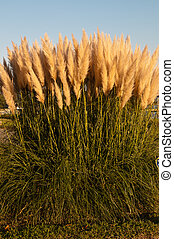 Pampas Grass - Beautifully sunlit pampas grass, Cortaderia...