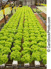 Hydroponic vegetable farm - Organic hydroponic vegetable...