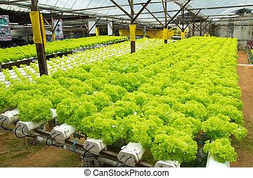 hydroponic, légume, ferme