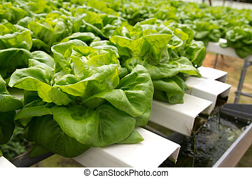 Hydroponic vegetable - Organic hydroponic vegetable garden...