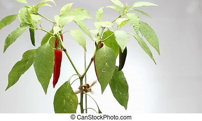 red chili plant - Red hot chili pepper plant