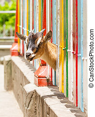 Goat looking through a fence - Brown goat looking through a...