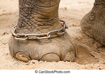 Hobbled foot of a working Indian Elephant in Saigon...