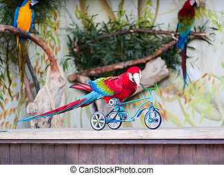 Parrot shows how he can ride a bike