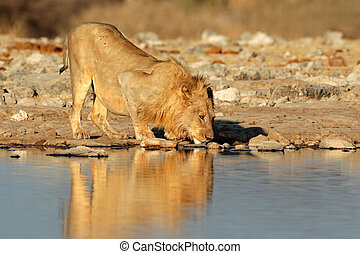 African lion drinking - Male African lion (Panthera leo)...