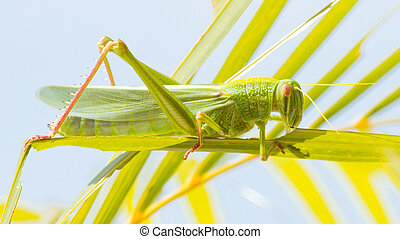 Large grasshopper, eating grass - Large grasshopper from the...